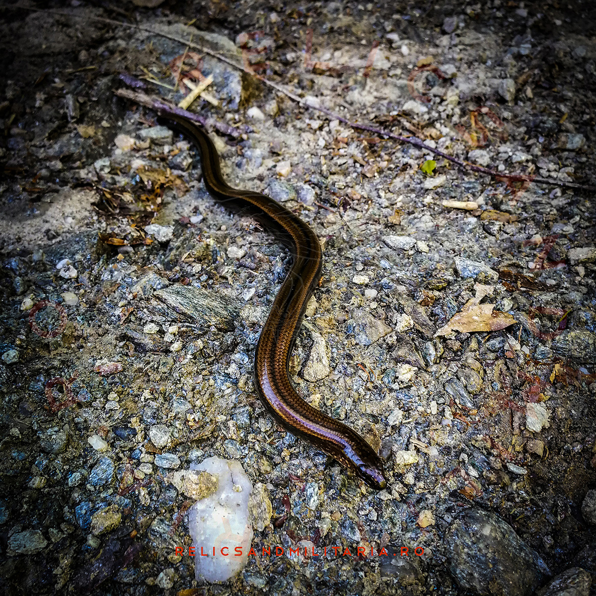 Non veninous grey snake